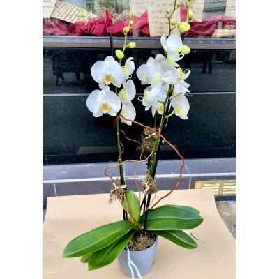 White Triple Stem Orchid